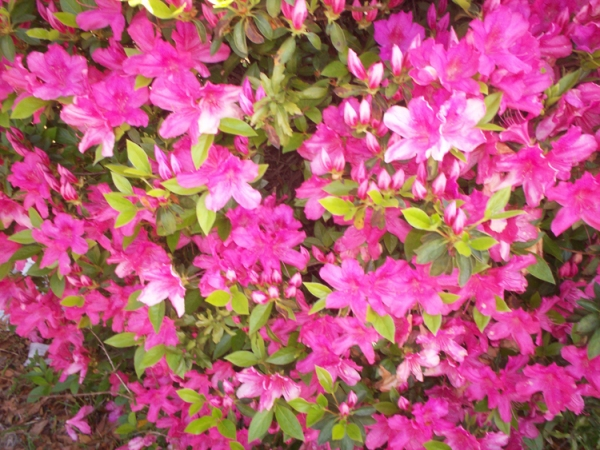 The azaleas in the front yard. taken 3/22